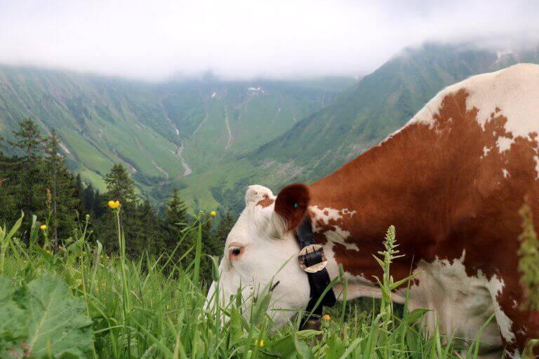 Kuh-frisst-Gras