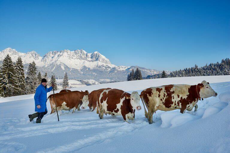 Heumilchkuehe-im-Winter-1