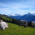 Grauvieh_Alm_Tirol