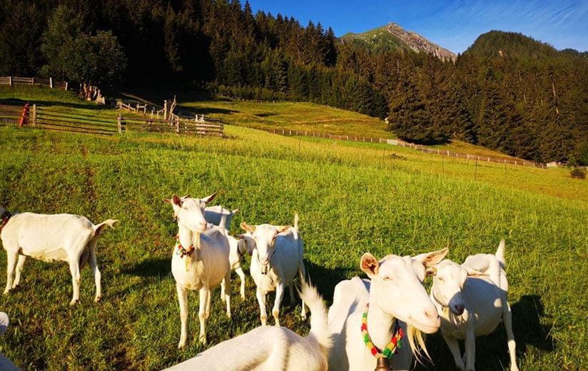 Heumilch-Wanderung #6: Im hinteren Zillertal von Finkenberg zur Gamshütte