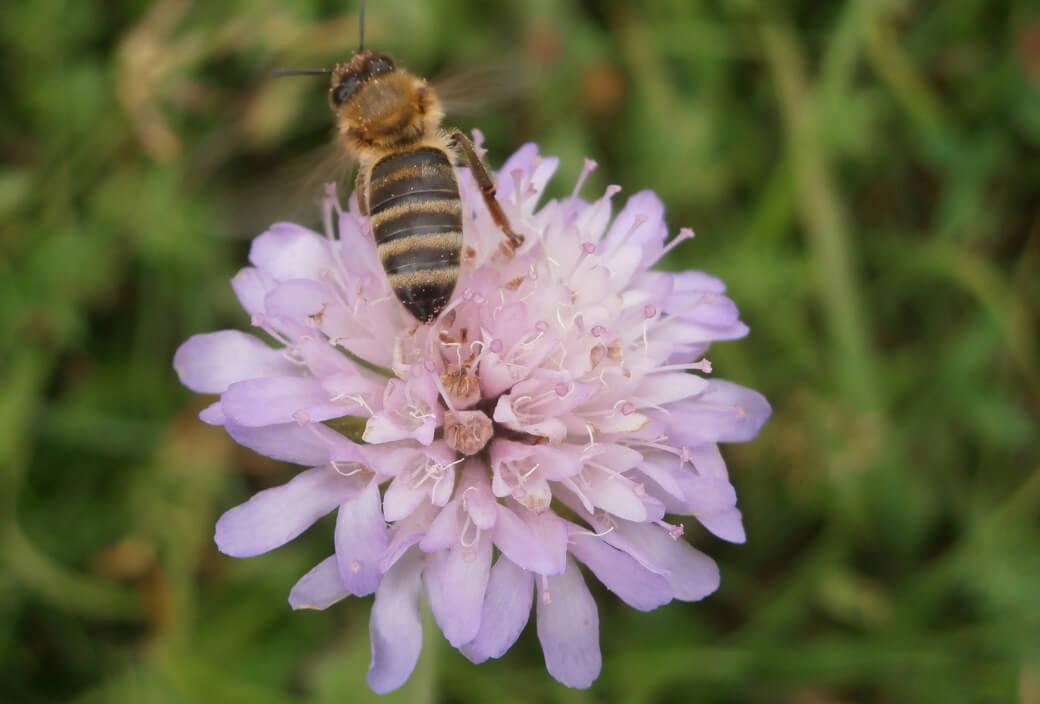 Artenvielfalt-für-Bienen