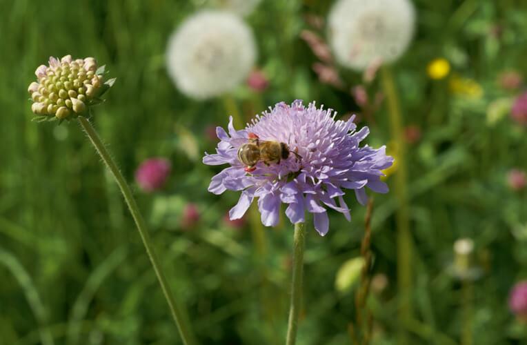 Acker-Witwenblume, Wiesenskabiose