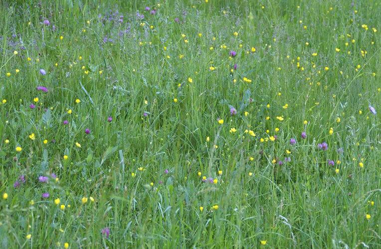 Knollen-Hahnenfuß-Glatthaferwiesen