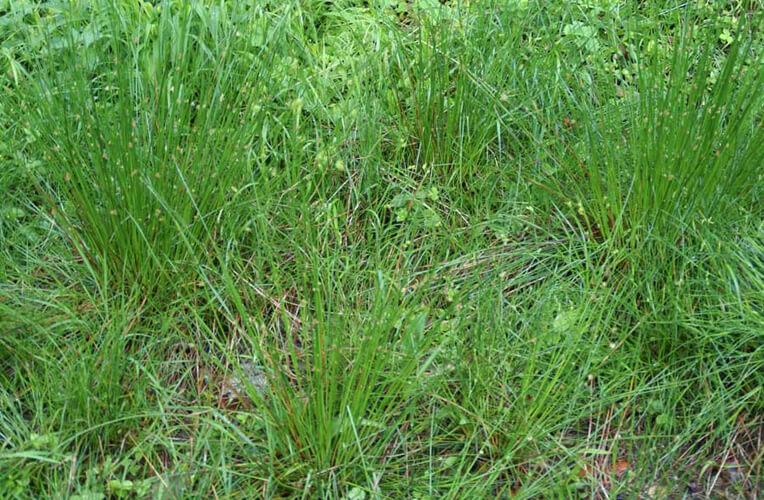 Simsen-Weide