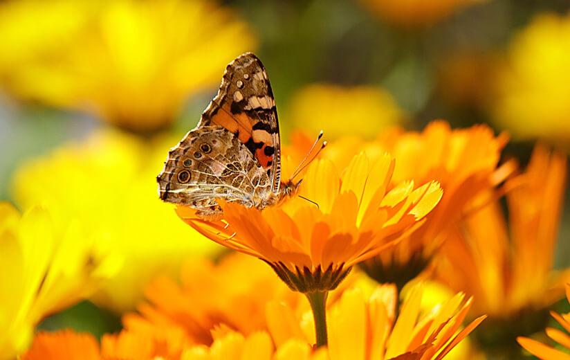 Heumilch Kräuterkunde #4: Ringelblume